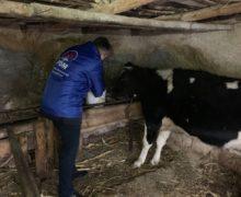 Накормить телку, оседлать коня, сфотографироваться сзубром. Как демократ Сергей Сырбу агитирует врегионах Молдовы