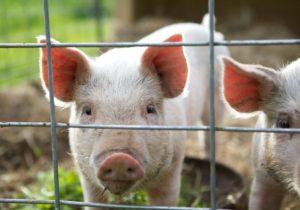 ANSA: В Молдове ликвидировали все очаги чумы свиней