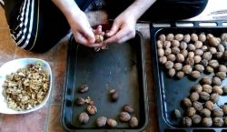 Экспортеры скупают орехи по «домонопольным» ценам. Как ореховоды отреагировали на…