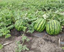 От корки до корки. Фермер из Гагаузии рассказал всю правду о молдавских арбузах