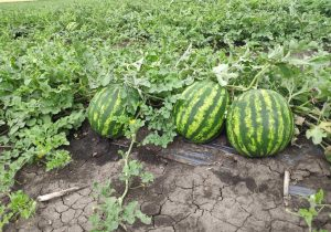 Un fermier din Găgăuzia a spus tot adevărul despre pepenii verzi moldovenești