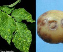 Majoritatea loturilor de cartofi de import, infestate cu o bacterie. Ce arată investigațiile ANSA