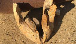 ВПриднестровье рабочие вкарьере нашли челюсть мамонта