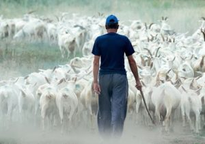 Более 30фермерам изсела Дороцкое разрешили пасти скот налевом берегу Днестра