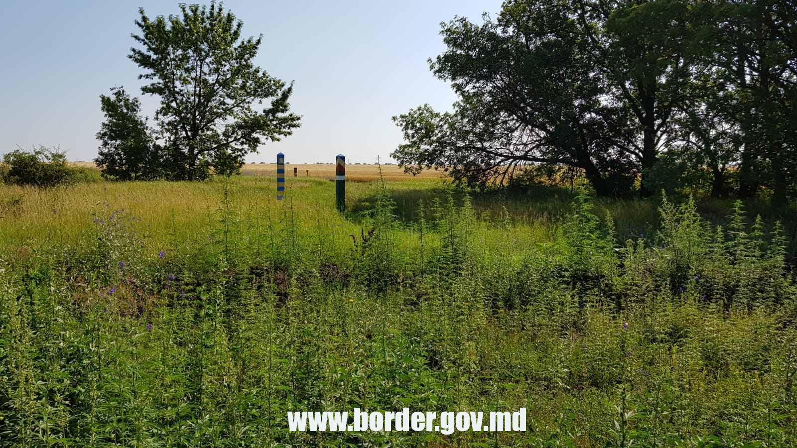 Награнице Молдовы пограничники обнаружили насаждения конопли