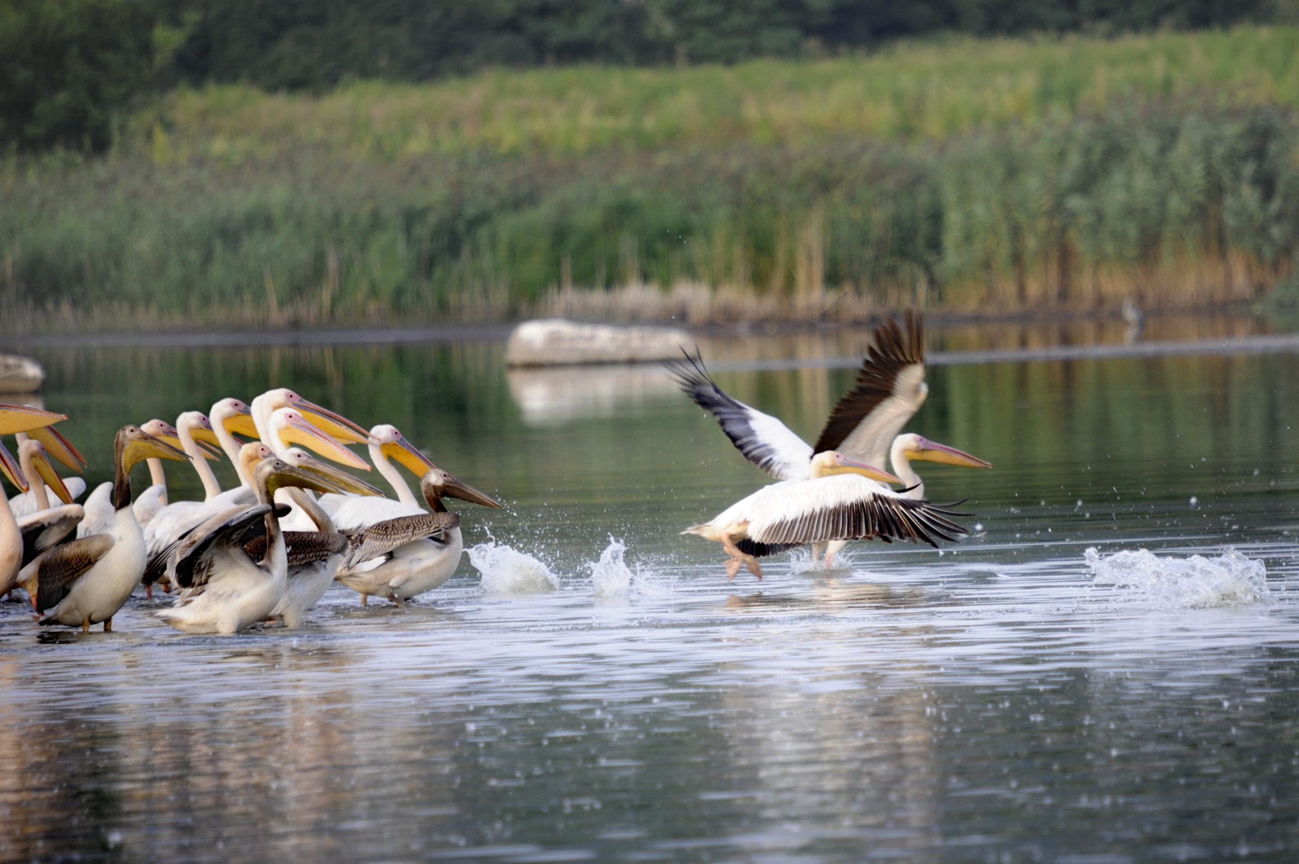 На озеро в Яловенском районе прилетели пеликаны. Фоторепортаж NM