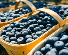 """Pomușoarele """"Lolly Berry"""". Cum se cultivă afinele în Moldova și de ce sunt mai gustoase decât cele importate?"""