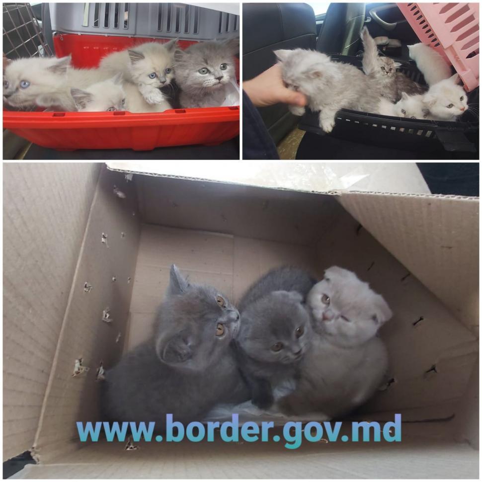 Пограничники остановили мужчину из Приднестровья с 17 котятами (ФОТО). Что он намеревался с ними сделать?