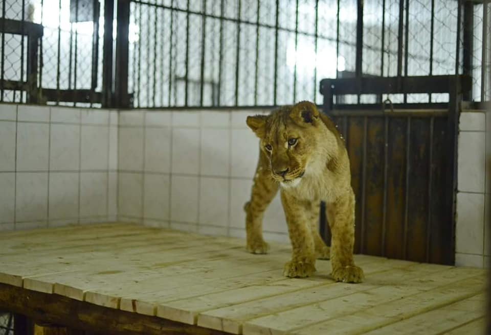 В зоопарк Кишинева привезли льва и трех львиц (ФОТО)