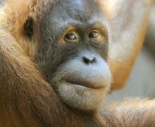 ВСША впервые вмире привили приматов откоронавируса
