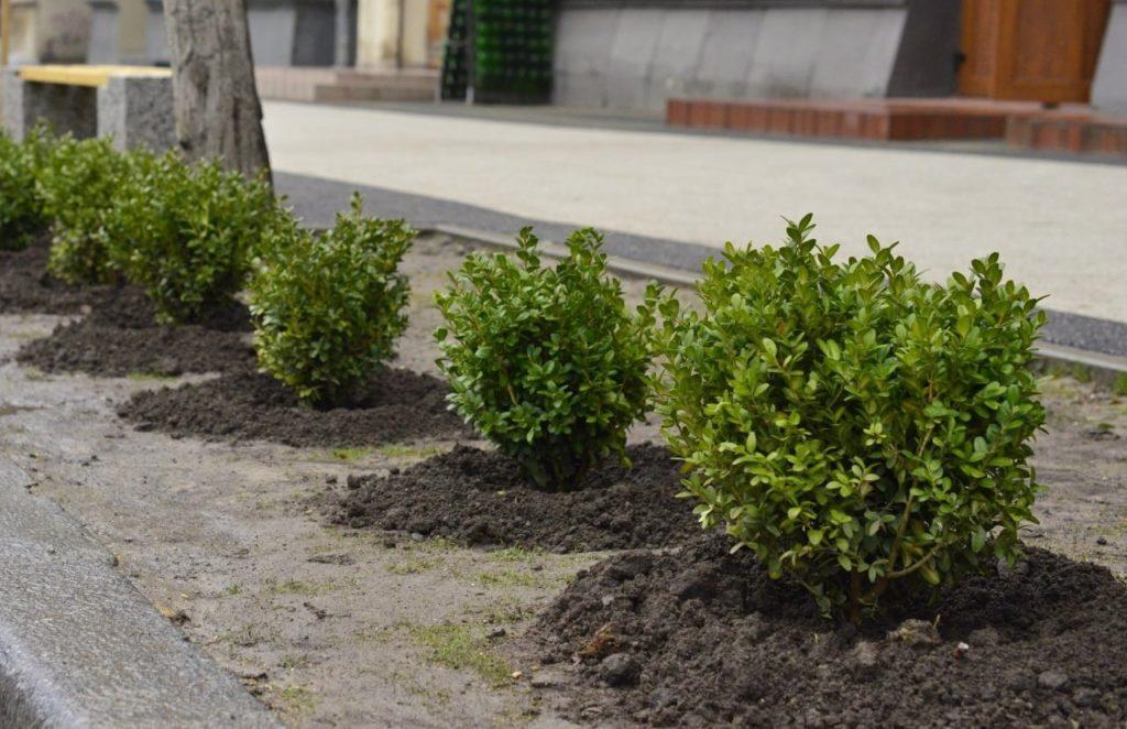 Cum luptă Primăria cu parcările pe trotuar? 114 arbuşti au fost plantați pe str. Pușkin (FOTO)