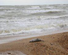 Наберегу Каспийского моря нашли более 150 мертвых тюленей