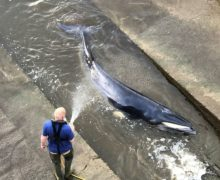 Малый полосатик. ВЛондоне спасатели спасли детеныша кита, застрявшего вшлюзе Темзы (ВИДЕО)