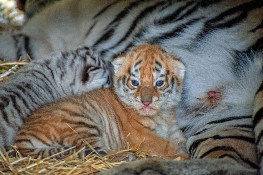 Зоопарк Кишинева показал недавно родившихся тигрят (ФОТО)