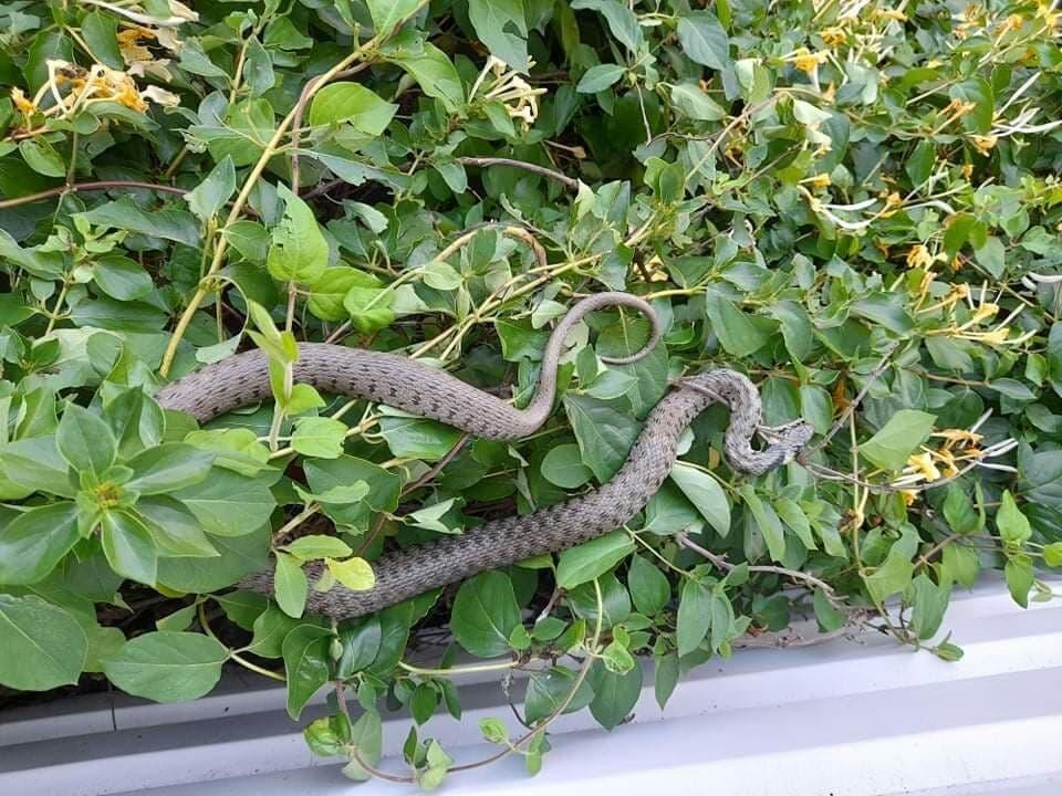 ВКаушанах ядовитая змея заползла накозырек первого этажа многоэтажного дома (ФОТО)