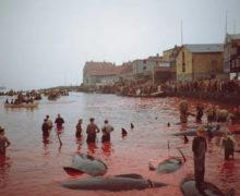 На Фарерских островах убили более 1400 дельфинов. Зачем?